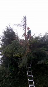 Pruning conifer tree nottingham