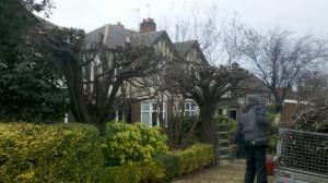 Plum tree pruning Nottingham